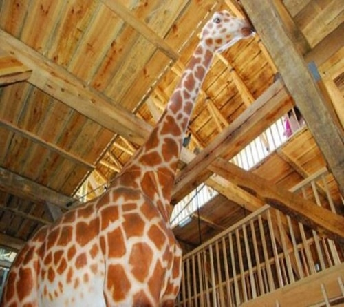 An impression of the sizes, even a Giraffe can stand inside.